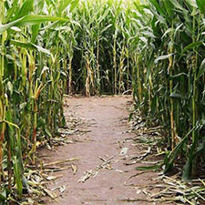 Cowvins Corny Corn Maze Youngs Dairy