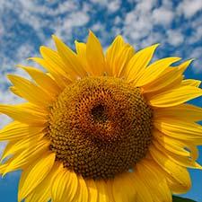 The Sunflower Field in Centerville