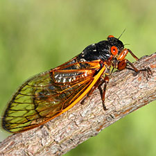 When will cicadas return to Ohio?