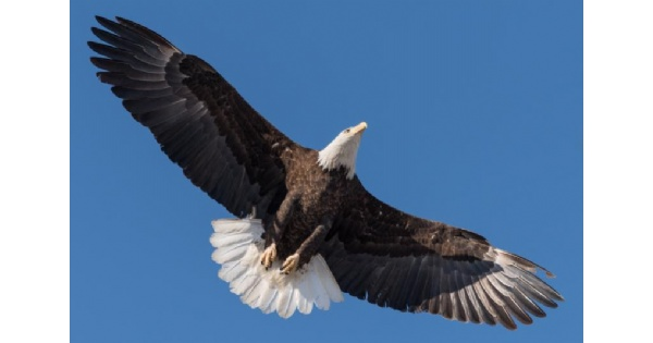 Bald Eagles Nesting at Carillon Park