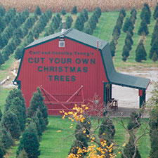 Cut Christmas Trees at Youngs Dairy