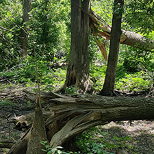 Five Rivers MetroParks to give away native tree seedlings