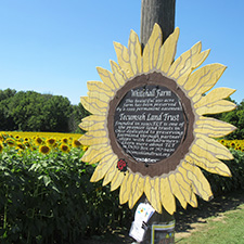 The Sunflower Field in Yellow Springs