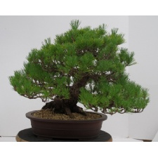 Bonsai Show and Sale