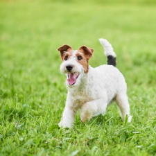 Wire Fox Terrier Club of the Central States