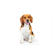 National Beagle Club Speciality - canceled