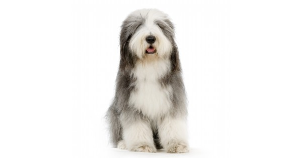 Old English Sheepdog Club of America National Specialty