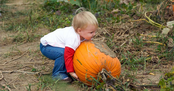 Pick Your Own Pumpkins at Youngs Dairy