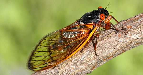 Millions of cicadas expected to swarm Dayton within weeks
