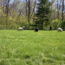North River Alpacas